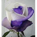 Tinted Roses - Purple, White