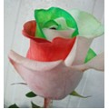 Tinted Roses - Red, Green, White