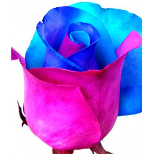 Tinted roses light blue pink purple mightylinksfo