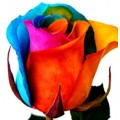 Tinted Roses - Light Blue, Pink, Orange