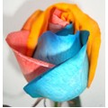 Tinted Roses - Red, Light Blue, Orange