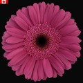 Gerbera - Blue Eye