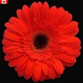 Gerbera - Chief
