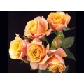 Spray Roses - Magic Sensation