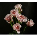 Spray Roses - Majolica Light Pink