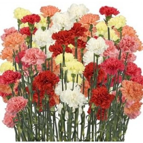 3831e79b01d7 Mini Carnations - Assorted (bunch of 10 stems)