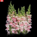 Snapdragon - Apple Blossom