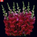 Snapdragon - Burgundy