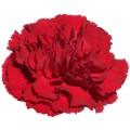 Carnations - Amico Crimson