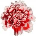 Carnations - Cheerio