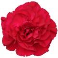 Carnations - Crimson Tempo