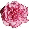 Carnations - Dark Tempo