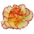 Mini Carnations - Birba (bunch of 10 stems)