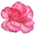 Mini Carnations - Carpaccio (bunch of 10 stems)