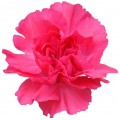 Mini Carnations - Caterina (bunch of 10 stems)