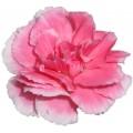 Mini Carnations - Cherry Tessino (bunch of 10 stems)