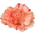 Mini Carnations - Eilat (bunch of 10 stems)