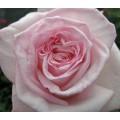 Garden Roses - Pink O'Hara