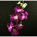 Dendrobium - Sabina