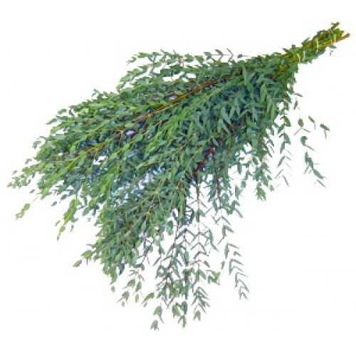 Parvifolia Eucalyptus